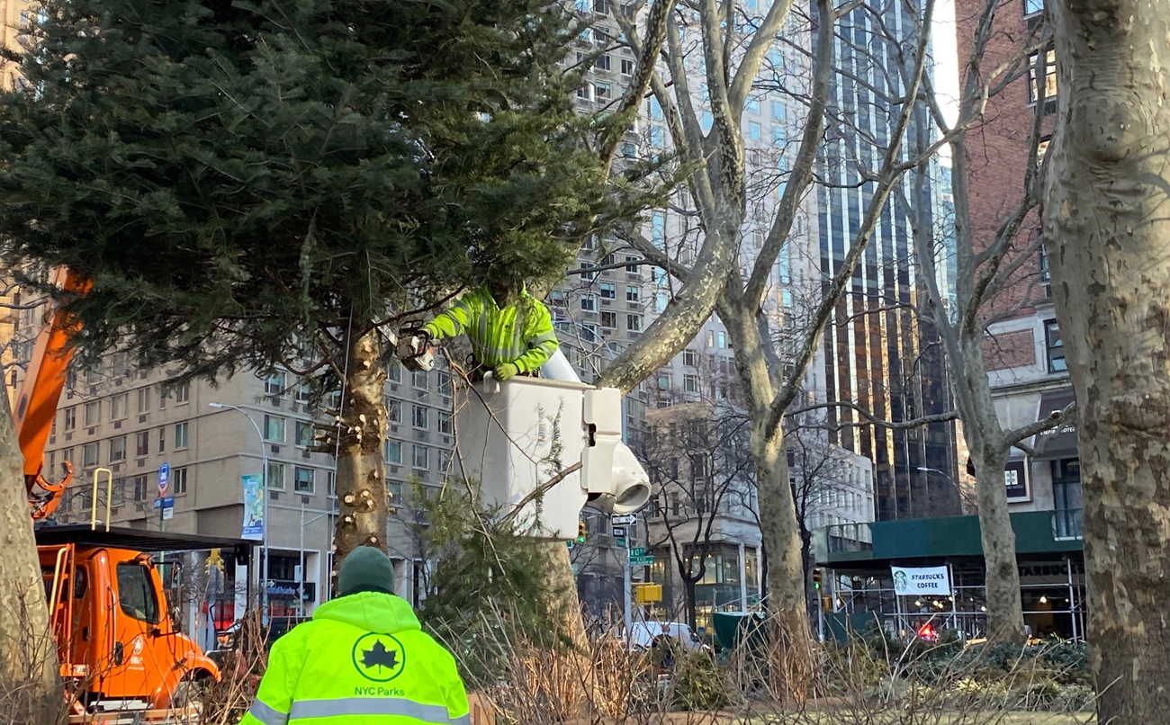 a parks worker begins to cut down the tree in dante park from a bucket truck